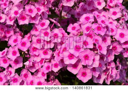 flowers phloxes of pink color for the natural textured background