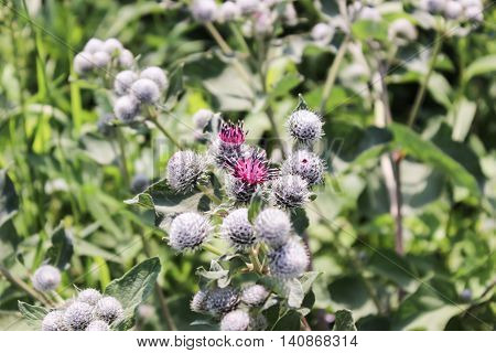 The blooming pink flowers of a burdock