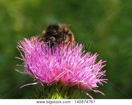 Bumblebee on a flower burdock. Summer mood.