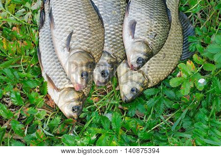 caught five crucians lying on green grass