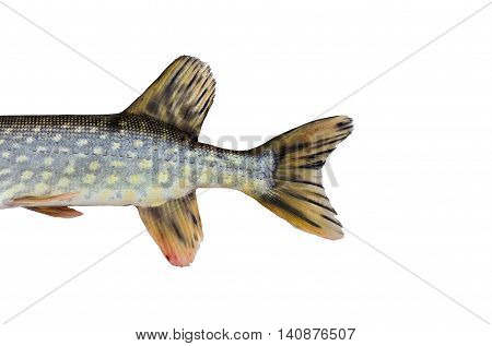 Pike's tail with fins, isolated on white background