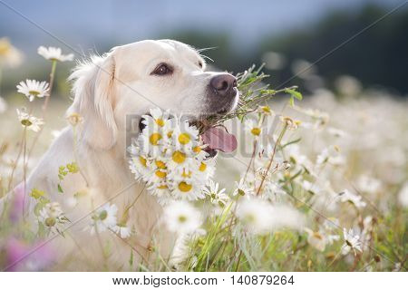 Closeup portrait of young beautiful dog breed Golden Retriever,kind brown eyes,pink tongue,holding in teeth a bouquet of white field daisies with yellow center,photo is made in spring on a mountain meadow