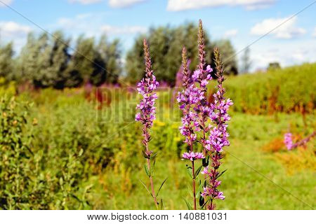 Dutch nature area with blossoming Purple Loosestrife in the foreground and varied other wild plants in the background. It is a sunny day in the summer season.