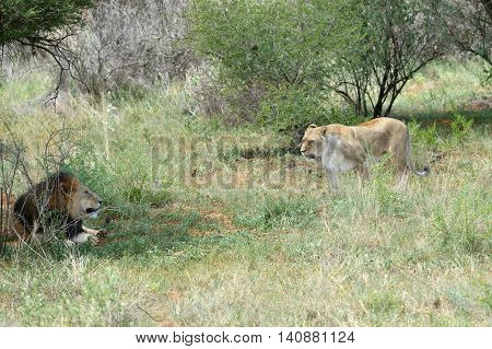 African bush with couple of an adult lions in the bush Namibia. Africa.