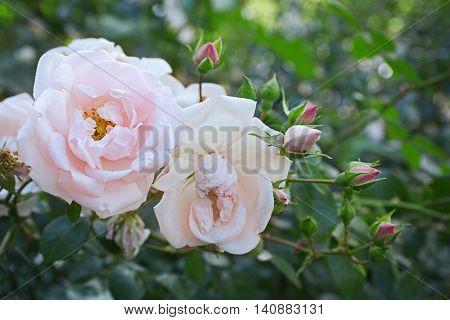 Pink tea roses in a garden