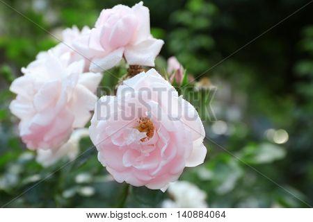 Beautiful pink tea roses with dew in garden