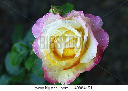 Beautiful colorful rose with dew