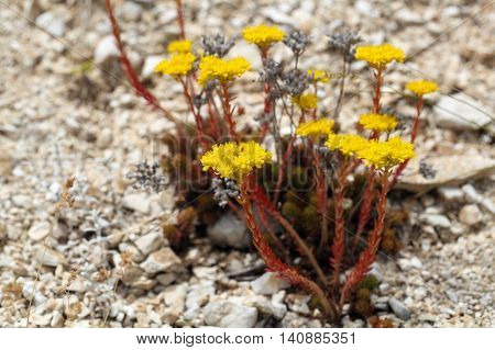 Flowers of Sedum rupestre in the Apennine Mountains in Italy.