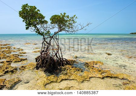 Mangrove growing on the beach on one of the Florida Keys