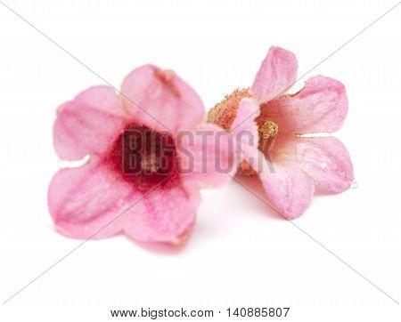 Pink Flowers Of Brachychiton Bidwillii