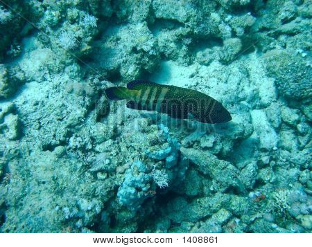 Blue-Spotted Grouper