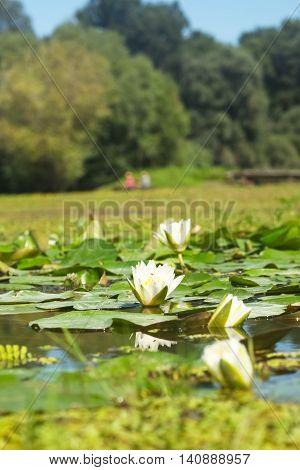 White lotus water lilies in swamp lake
