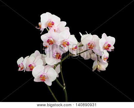 Several branches of white orchids phalaenopsis flower isolated on a black background