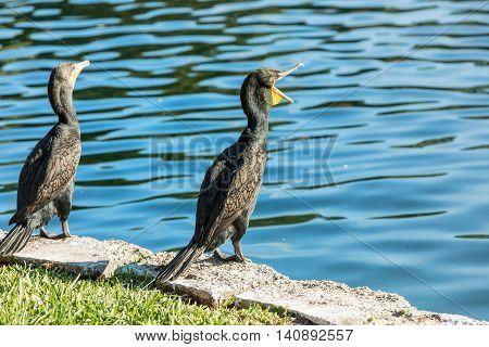 Cormorants on lake Eola Orlando Florida USA