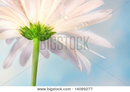 Pink daisy against a blue summer sky