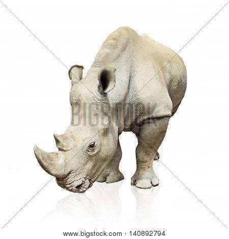 big gray rhinoceros isolated on white background