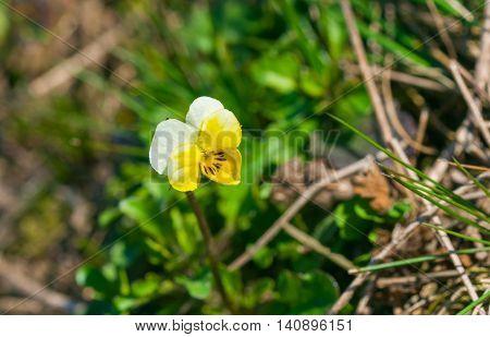 Wild viola at spring season in Ukraine
