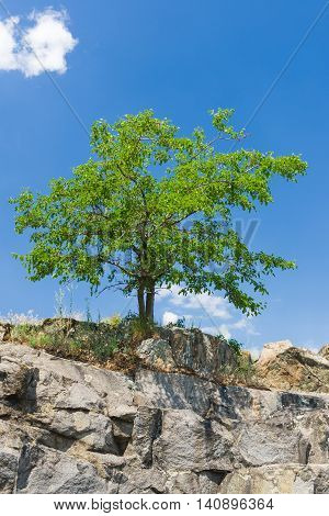 Mulberry tree on a rocky steep at summer season