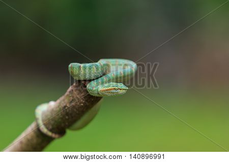Green Snake Or Green Pit Viper In Nature