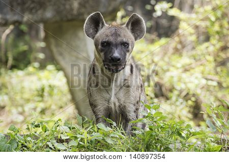 Spotted Hyena looking something in the park