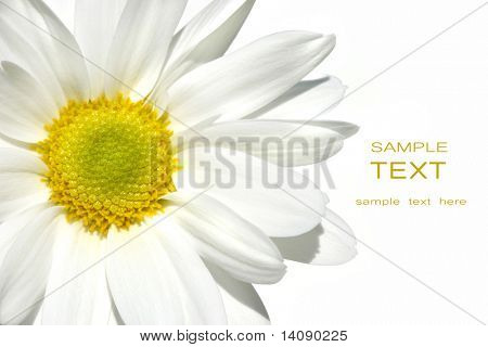 White Shasta daisy on white background
