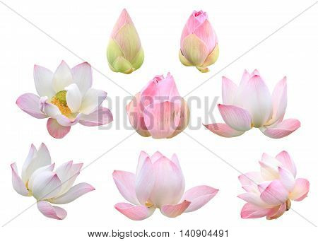 Set Of Beautiful Pink Lotus Flower Isolated On White. Saved With Clipping Path (lotus Used To Worshi