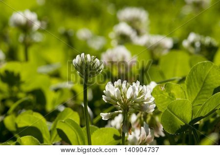 clover with white flowers on a sunny meadow