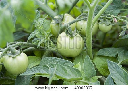Young Unripe Fruit Tomatoes On The Bush