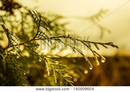the branch here with the droplets of rain water gently lit by the sun