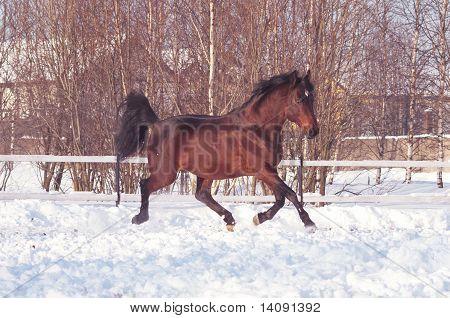 running bay horse at snow field