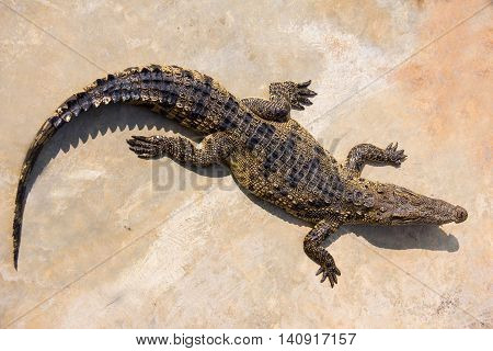 crocodile laying down on the ground in crocodile farm