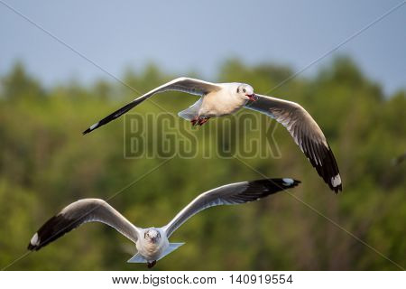 Brown-headed gull flying in the sky (Mangroves forest)
