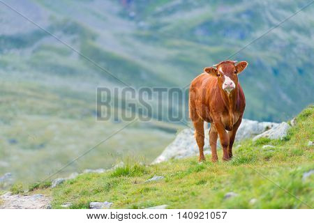 Cow In A Pasture In The Swiss Alps