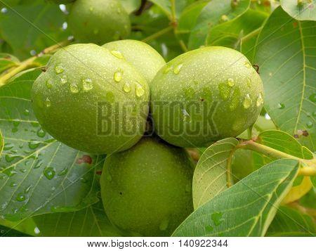 Rain drops on immature walnuts after rain