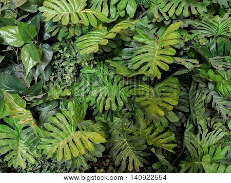 Green Monstera Leaves Texture For Background - Top View