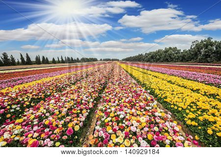 The sun's rays shine from cumulus clouds. The flowering buttercups. Flower kibbutz near Gaza Strip