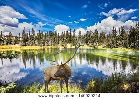 Red deer with branchy horns costs on the bank of charming lake. Jasper National Park in the Rocky Mountains. Multi-color autumn woods are reflected in the lake