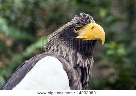 A closeup of the head of a Steller's sea eagle