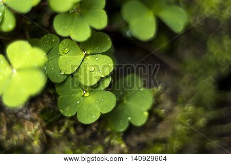 Detail of a wood sorrel (common wood sorrel) with heart-shaped leaves. Background