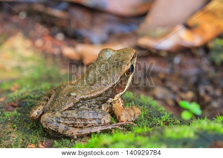 Beautiful Dark-sided Frog In Forest