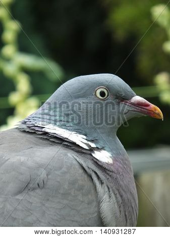 Ciose up view of a wood pigeon