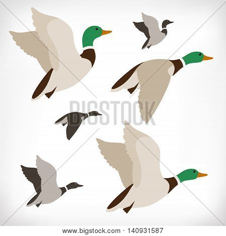 Set of flying wild ducks. Duck hunting. Mallard duck flying. Flock flying to the South. Vector illustration.