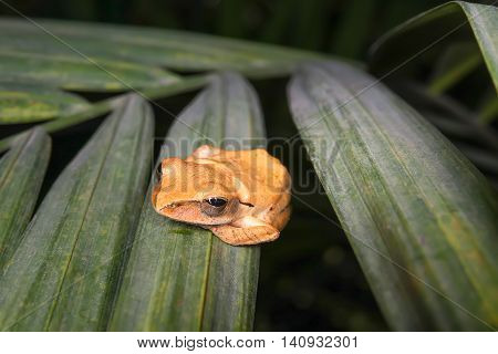 The Common Tree Frog (Polypedates leucomystax) on the leaf