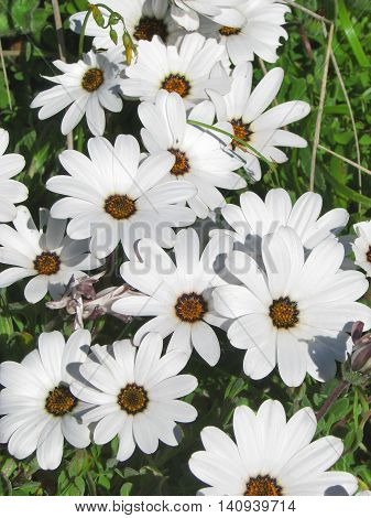 Wild African Daisies, West Coast, South Africa 01 a