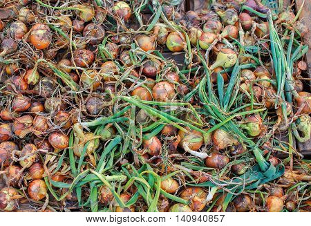dirty fresh onions spread out to dry. background bulb onions. top view