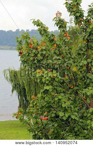 apricot tree in Bracciano lake - Italy
