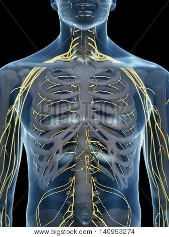 3d rendered medically accurate illustration of the chest nerves