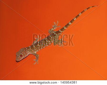 Striped gecko lizard on the orange wall.