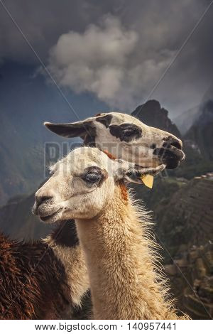Two Llamas in front of ancient inca town of Machu Picchu