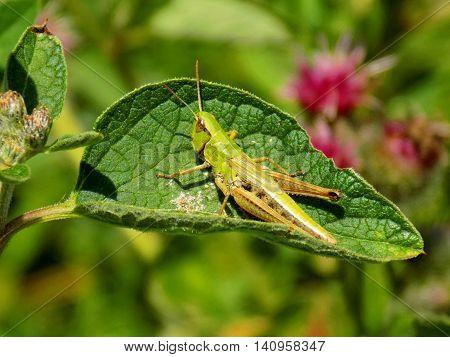 Grasshopper on bush leaf on meadow during spring